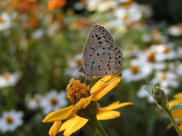 ジニアとヤマトシジミ蝶
